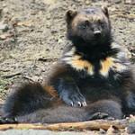 wolverine (animal)