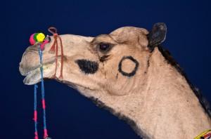DSC_2637 Camel Pushkar