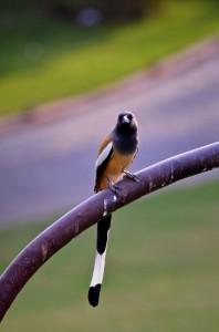 DSC_2719 Rufous Treepie bird Pushkar