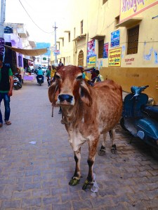 IMG_7993 cow by Pushkar Lake